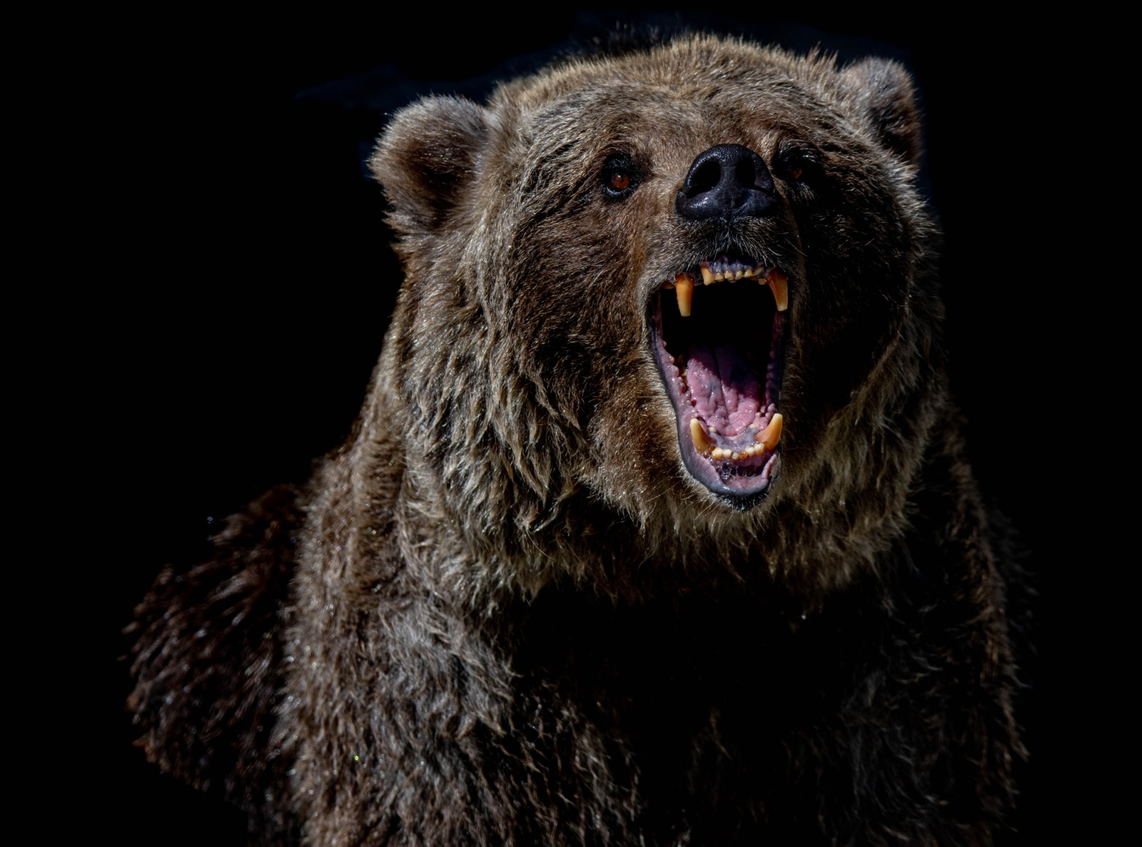 brown bear with blue eyes